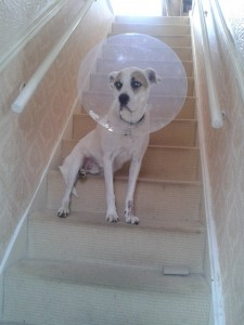 Finn sitting on the stairs wearing a cone